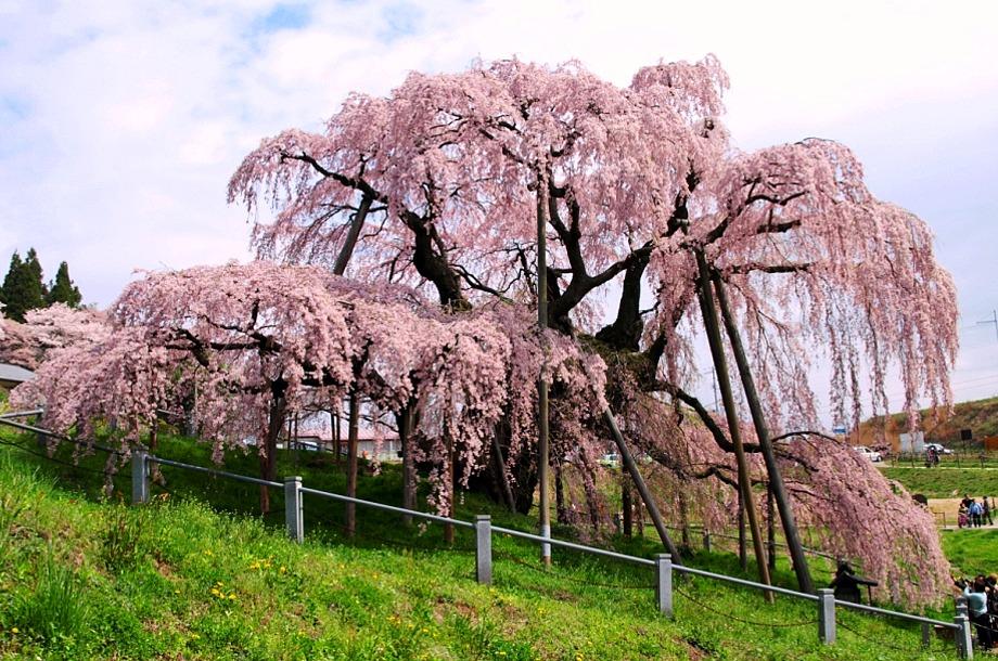 三春滝桜 (福島)---国内旅行観光...